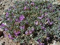 Image of Astragalus beatleyae