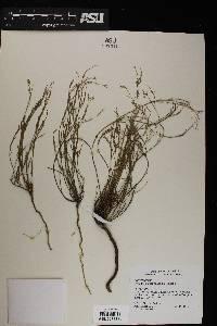 Polygala scoparioides image