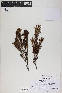 Image of Myrceugenia bracteosa