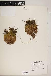 Echinocereus fendleri var. rectispinus image