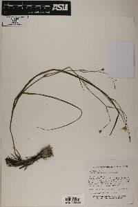 Image of Calochortus venustulus