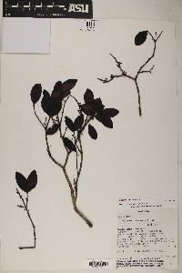 Eugenia hyemalis image