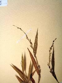 Image of Brachiaria tsiafajavonensis
