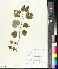 Viburnum trilobum image
