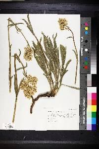 Image of Swertia montana