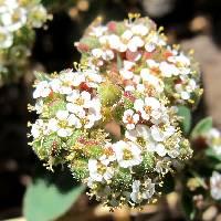 Euphorbia capitellata image