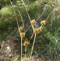 Image of Cyperus dipsaceus
