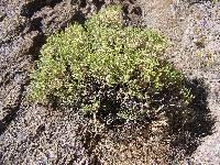Image of Ericameria nana