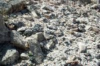 Eriogonum soredium image