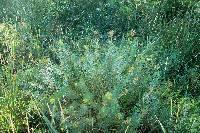 Image of Euphorbia cyparissias