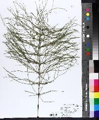 Equisetum pratense image