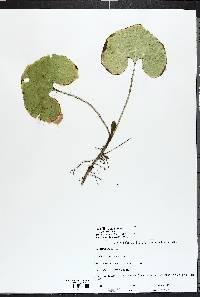 Asarum canadense image