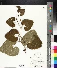 Aristolochia clematitis image