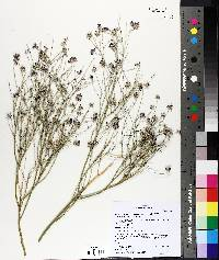 Psorothamnus scoparius image