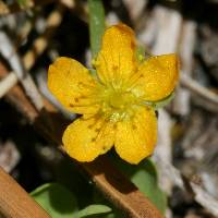 Image of Hypericum anagalloides
