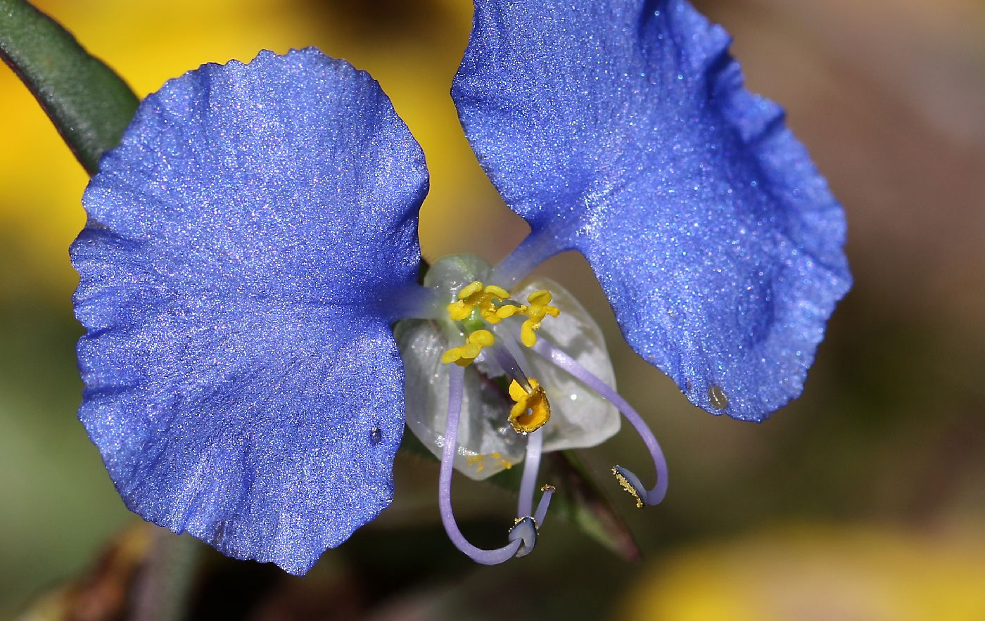 Commelina erecta image