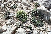 Lepidium ostleri image