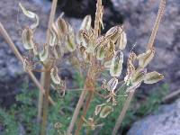Lomatium parryi image