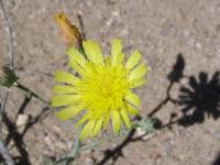 Malacothrix sonchoides image