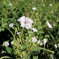 Image of Mirabilis longiflora