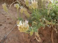 Astragalus hypoxylus image