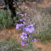 Image of Penstemon angustifolius