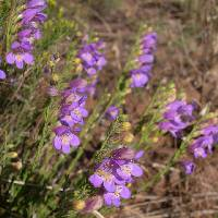 Image of Penstemon linarioides