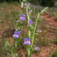 Image of Penstemon ophianthus