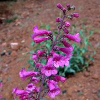 Image of Penstemon parryi