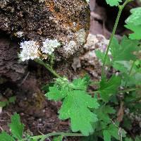 Phacelia rupestris image