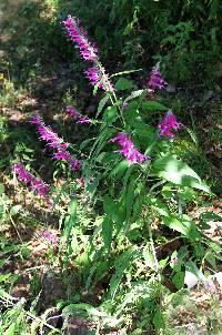 Image of Salvia townsendii