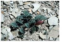 Image of Astragalus lutosus