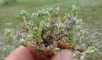 Image of Eryngium nasturtiifolium