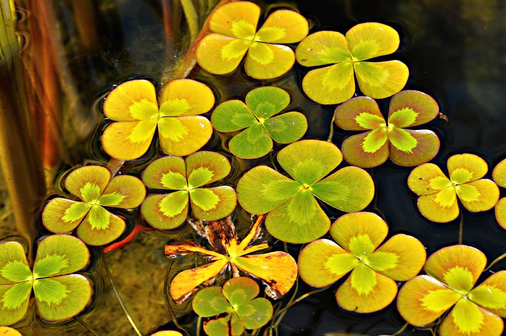 Marsileaceae image
