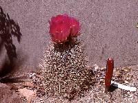 Image of Sclerocactus johnsonii