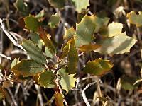 Image of Quercus x pauciloba