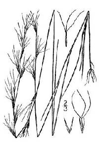 Image of Aristida longespica