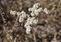 Image of Eriogonum annuum