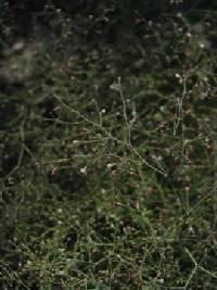 Image of Eriogonum parishii