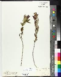 Gentiana puberulenta image