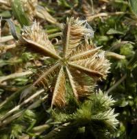Image of Dactyloctenium radulans