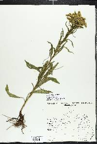 Solidago juncea image