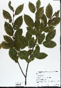 Carpinus betulus image