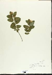 Lonicera tatarica image