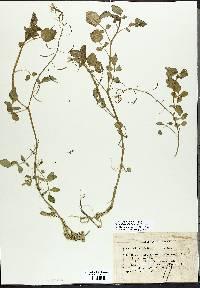 Nasturtium officinale image