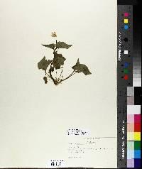 Viola incognita image