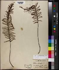 Image of Pellaea pectiniformis