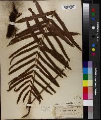 Blechnum serrulatum image