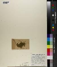 Wolffia papulifera image