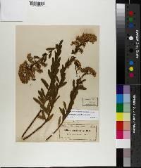 Chrysoma pauciflosculosa image